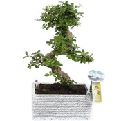 Bonsai Carmona S vorm 22 cm Easy care graniet