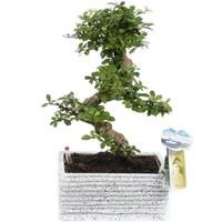 Bonsai Carmona S-Form 22 cm Pflegeleicht Granit