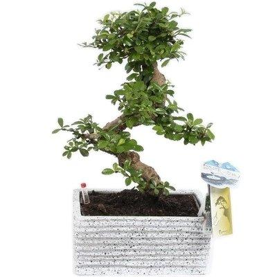 Bonsai Carmona S shape 22 cm Easy care granite