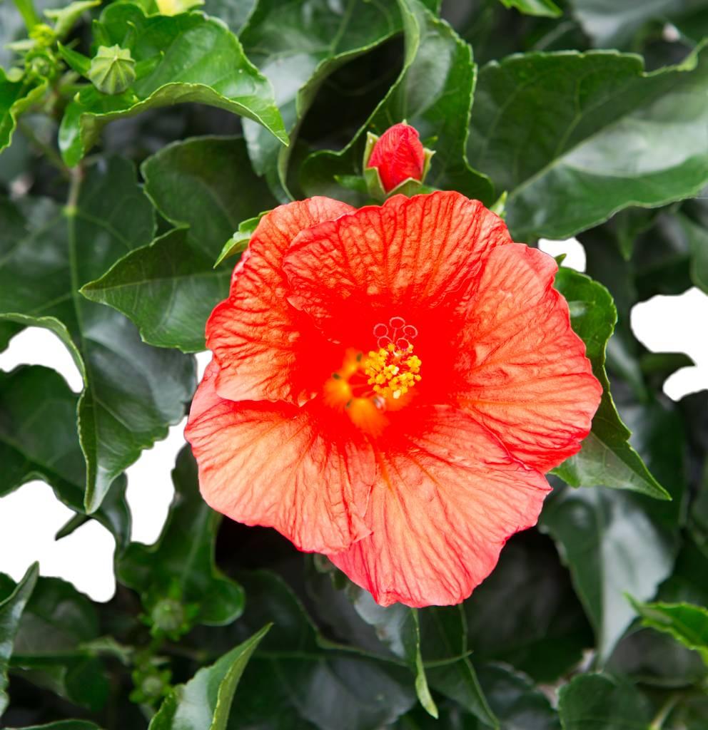 Hibiscus kopen florastore - Fleure hawaienne ...