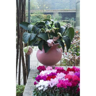 Medinilla magnifica met 5 knoppen in mand