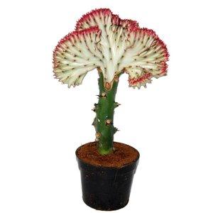 Euphorbia Euphorbia Lactea « Cristata Bordure rouge