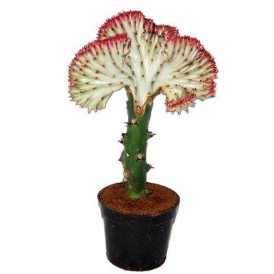 Euphorbia Lactea 'Cristata Rote Grenze