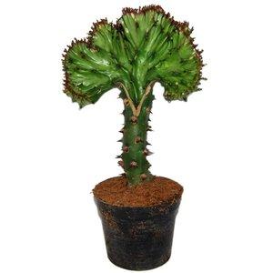 Euphorbia Lactea « Cristata vert