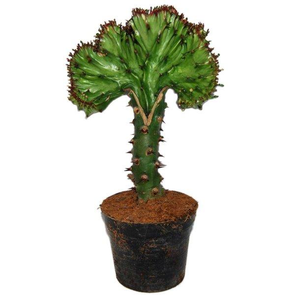Euphorbia Lactea 'Cristata Groen