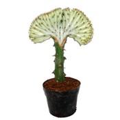 Euphorbia Lactea 'Cristata Gray