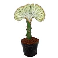 Euphorbia Lactea 'Cristata Grau