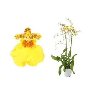 Bijzondere Orchideeën Oncidium Münsterland Stern