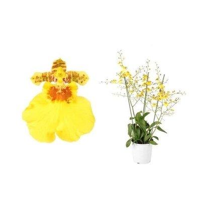 Bijzondere Orchideeën Oncidium Münster Stern