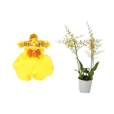 Bijzondere Orchideeën Oncidium Münster Stern XL