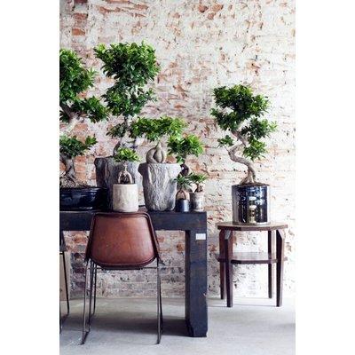 Bonsai Ficus Ginseng in 24 plastic pot