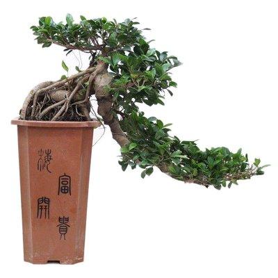 Bonsai Bonsai Ficus Cascade 80 cm
