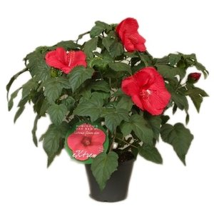 "Hibiscus XXL rood ""extreme oak red"""