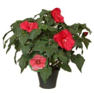Hibiscus XXL rouge « extrême chêne rouge »