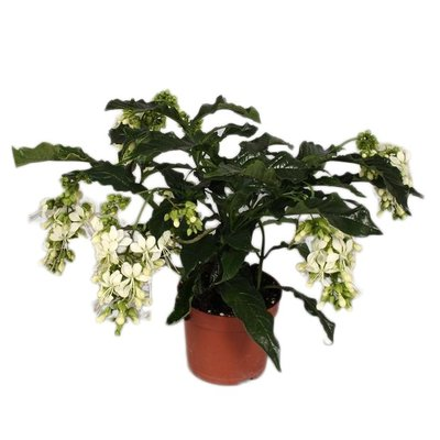 Clerodendrum Prospero (Blüte)