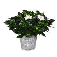 Gardenia Nature Pot