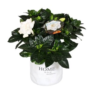 Gardenia in ornamental pot