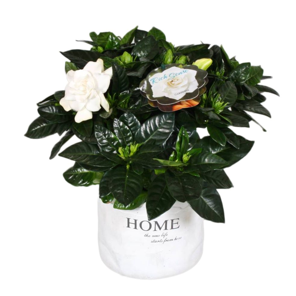 Gardenia Shiny Leaves And Fragrant Flowers Florastore