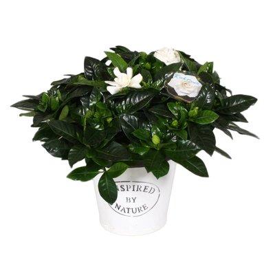 Gardenia Natur Pot