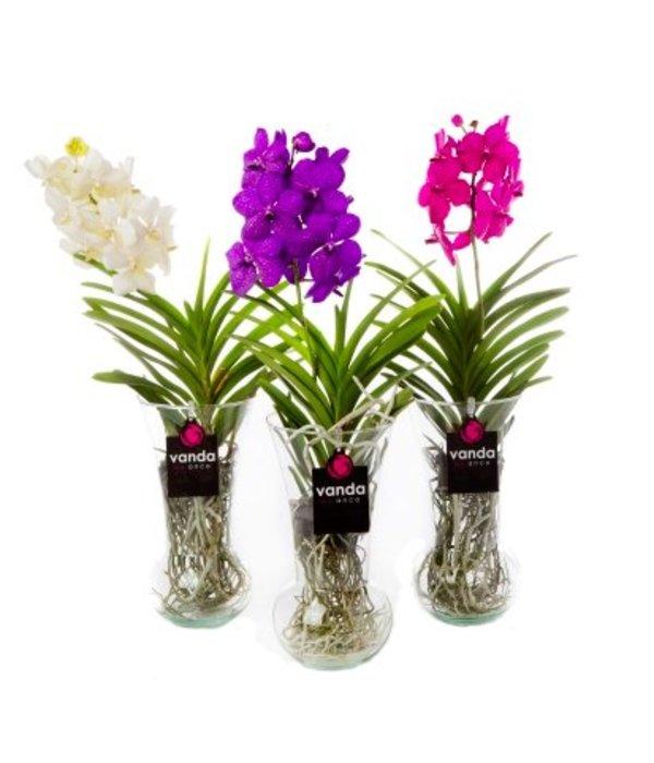 vanda diabolo une orchid e exclusif avec un choix de trois couleurs florastore. Black Bedroom Furniture Sets. Home Design Ideas