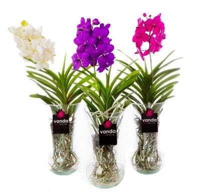 vanda diabolo een exclusieve orchidee met keuze uit drie. Black Bedroom Furniture Sets. Home Design Ideas