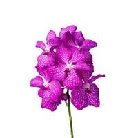 Vanda Kanchana Pink magic L -