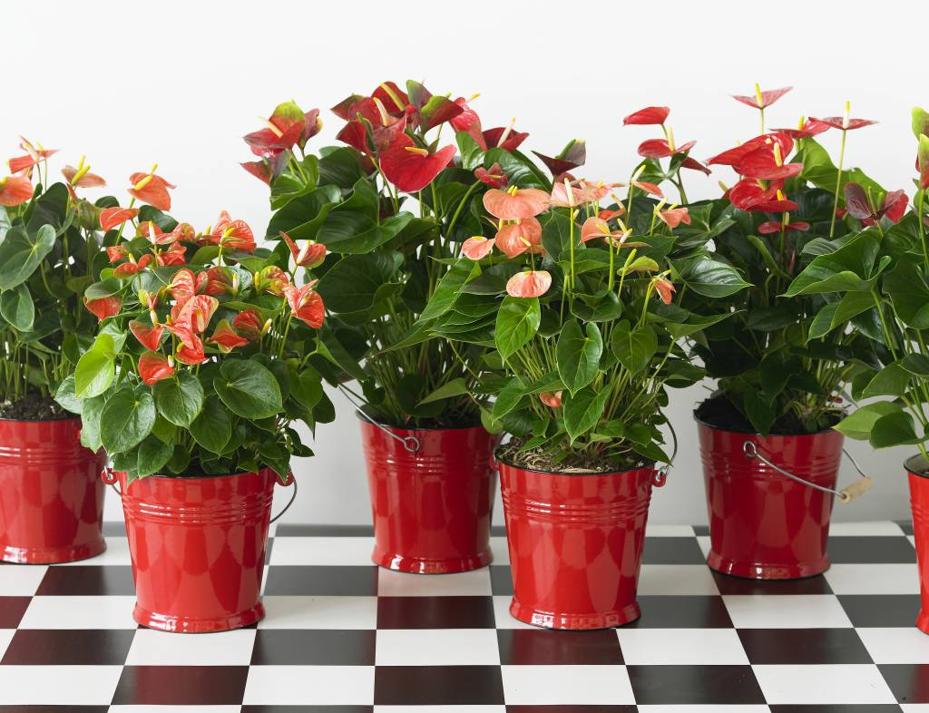 red winner pianta