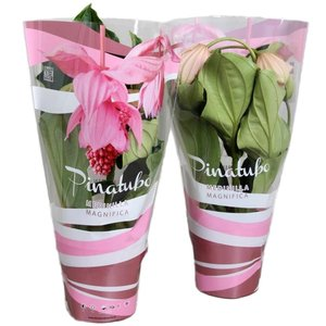 Medinilla Magnifica 5 button in atmospheric pink gift box