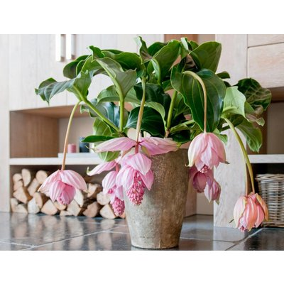 Medinilla magnifica with six buttons in basket