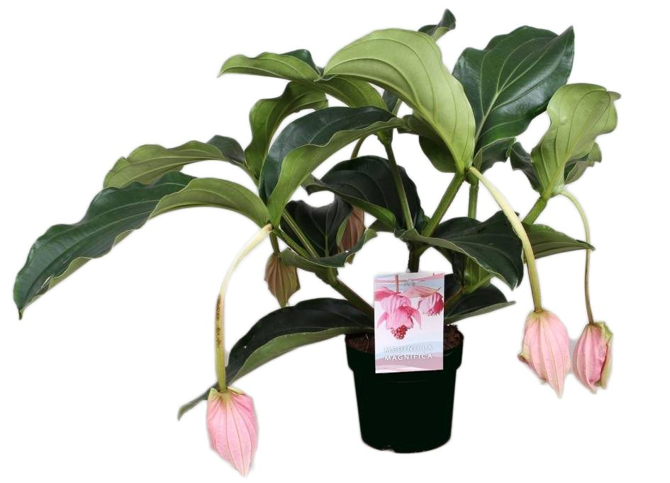 medinilla magnifica for home or office florastore. Black Bedroom Furniture Sets. Home Design Ideas