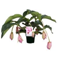 Medinilla Magnifica with 7 buttons