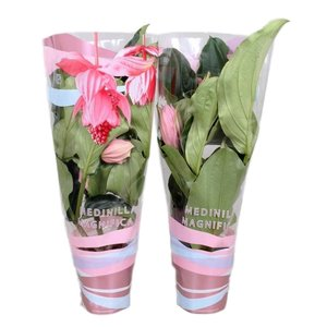Medinilla magnifica with 6 buttons in giftcover