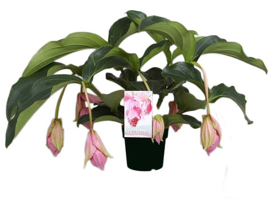 medinilla magnifica florastore. Black Bedroom Furniture Sets. Home Design Ideas