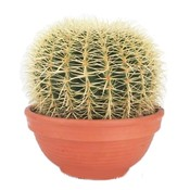 Cactus Echinocactus Grusoni (Gesetz Stuhl) Extra
