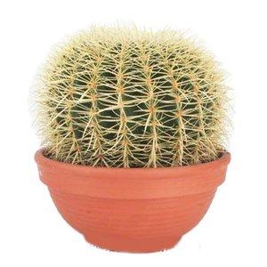 Cactus Kaktus Echinocactus Grusoni extra groß
