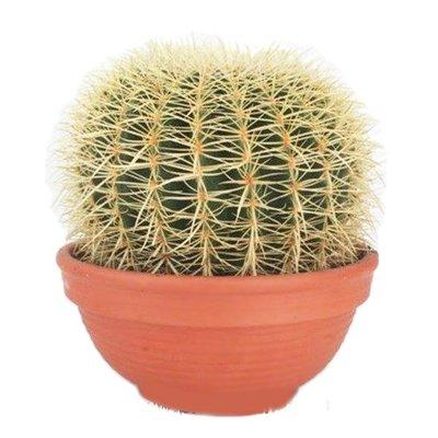 Cactus Echinocactus Grusoni (schoonmoederstoel) extra