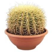 Cactus Echinocactus Grusoni (chaise d'alimentation)