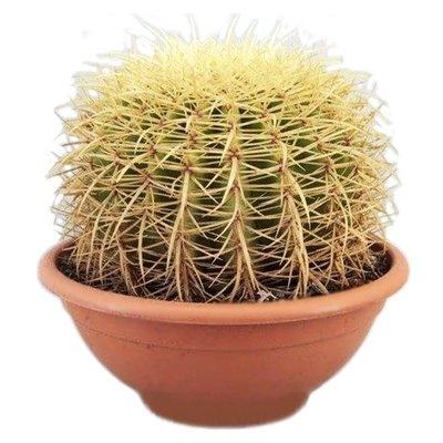 Cactus Echinocactus Grusoni (Mutter sauber Stuhl)