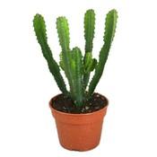 Cactus Euphorbia Hermentiana
