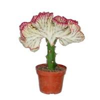 Euphorbia Lactea « Cristata Bordure rouge