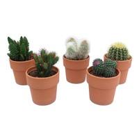 Cactus Cactus gemengd in terra cotta