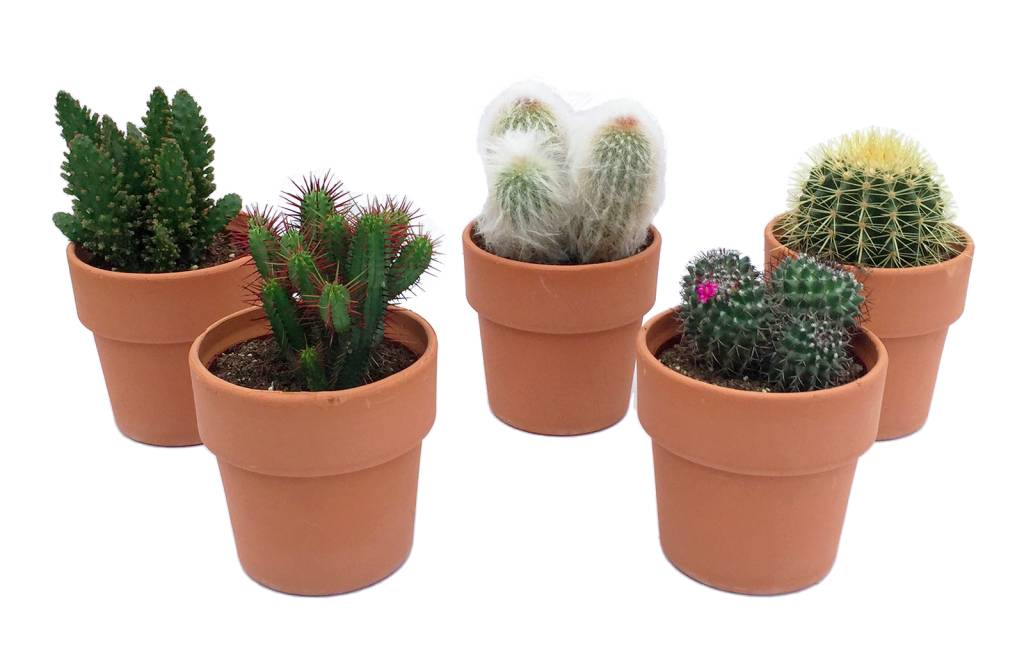 cactus m lang en terre cuite florastore. Black Bedroom Furniture Sets. Home Design Ideas