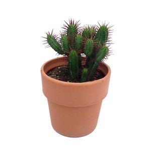 Cactus Diverses in Terracotta