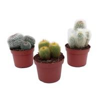 Cactus mélangés dans un pot de 12 cm