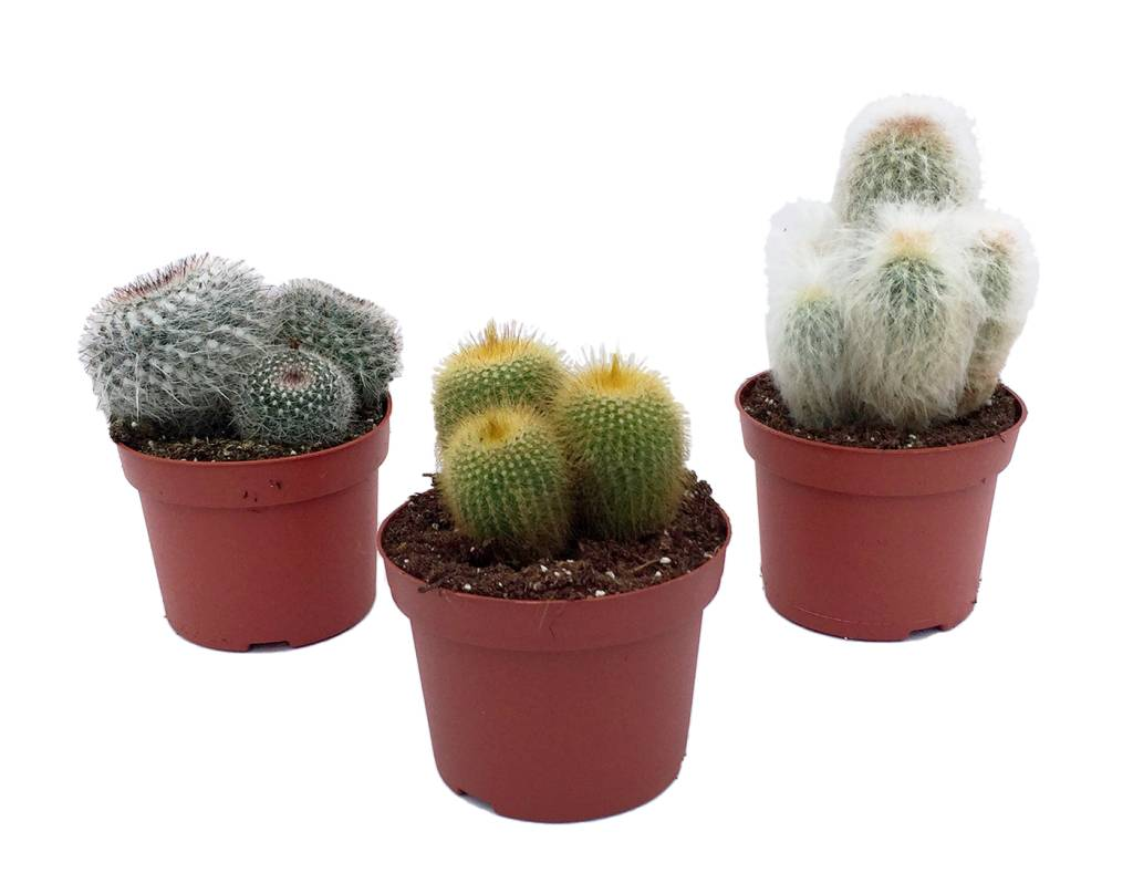cactus m lang s dans un pot de 12 cm florastore. Black Bedroom Furniture Sets. Home Design Ideas