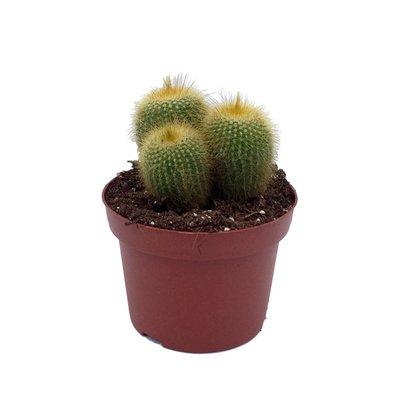 Cactus gemengd in pot 12 cm