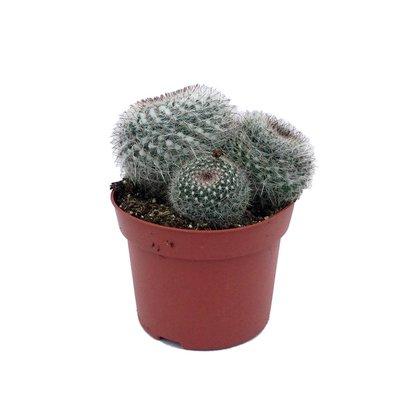 Cactus Cactus gemengd in pot 12 cm