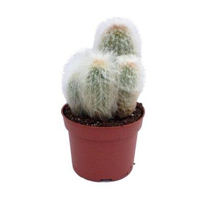 Cactus in einem Topf gemischt 12 cm