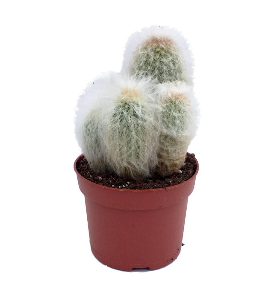 cactus m lang s dans un pot de 12 cm florastore. Black Bedroom Furniture Sets. Home Design Ideas