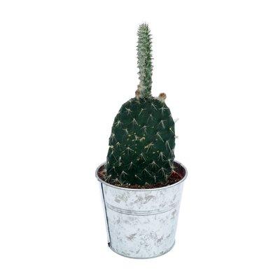Cactus gemischtes Zink im Koffer